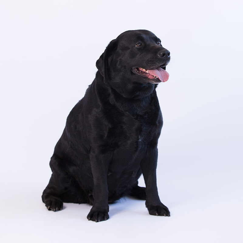 lacote sweet sally call name sally black labrador by merelda labradors