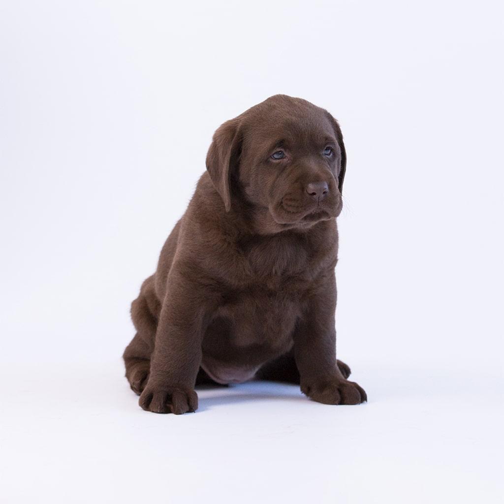 sitting chocolate purebred puppy by merelda labradors