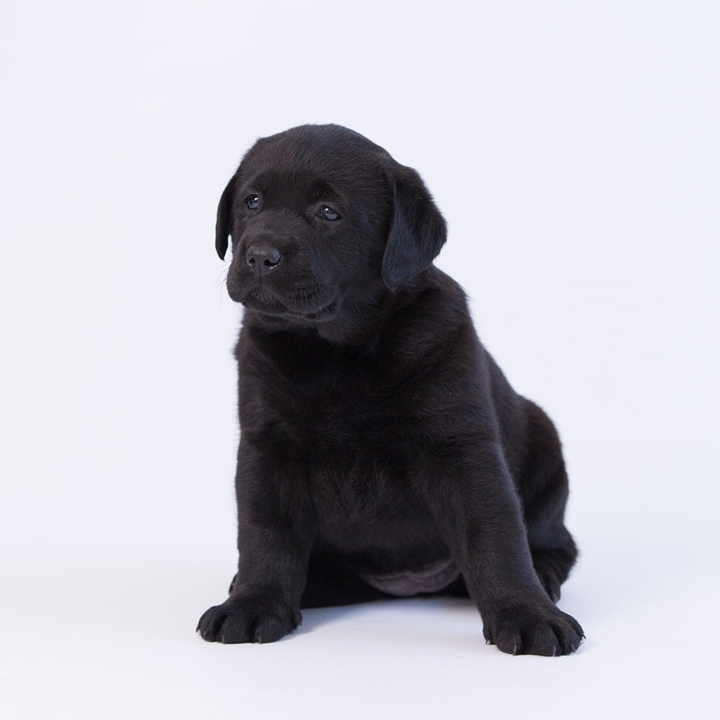 sitting black purebred puppy by merelda labradors