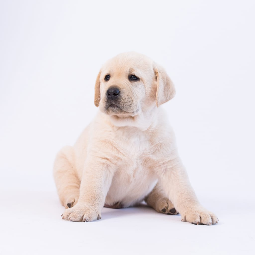sitting yellow purebred puppy by merelda labradors