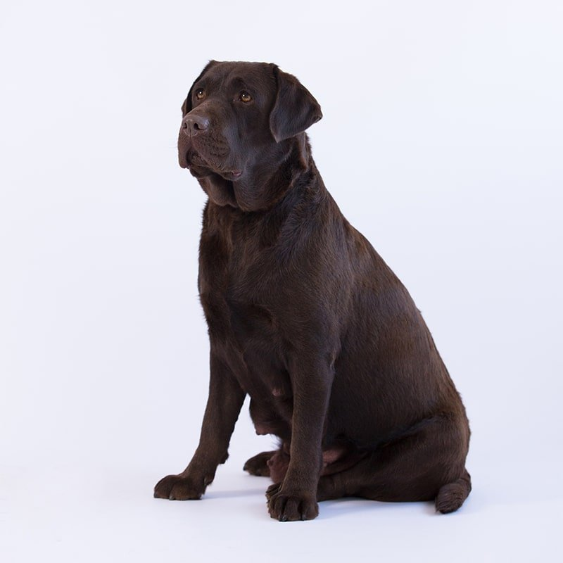 phenwick annies song call name patty chocolate labrador by merelda labradors
