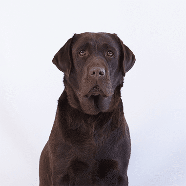 chocolate labrador phenwick annies at merelda labradors