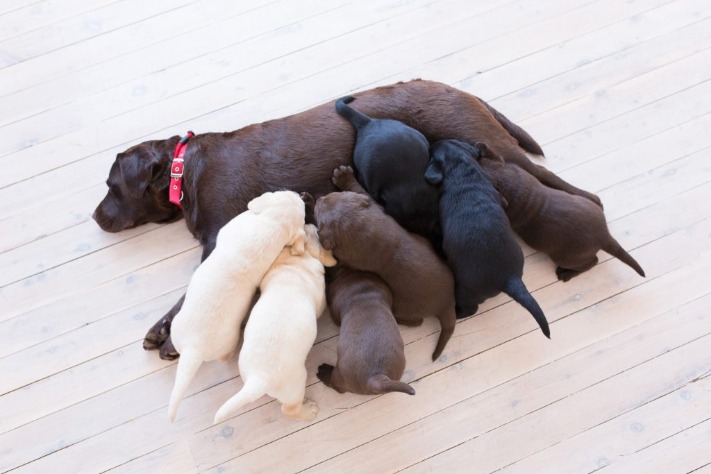 puppies breastfeeding to phenwick annies song patty merelda labradors