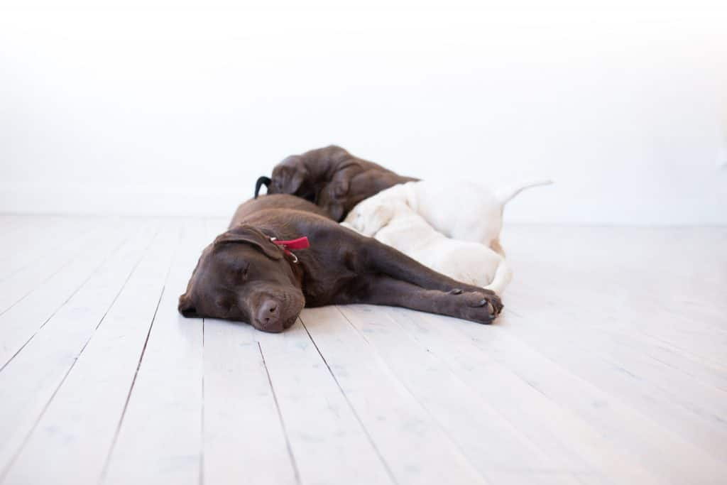 About Merelda Labradors Purebred Puppies