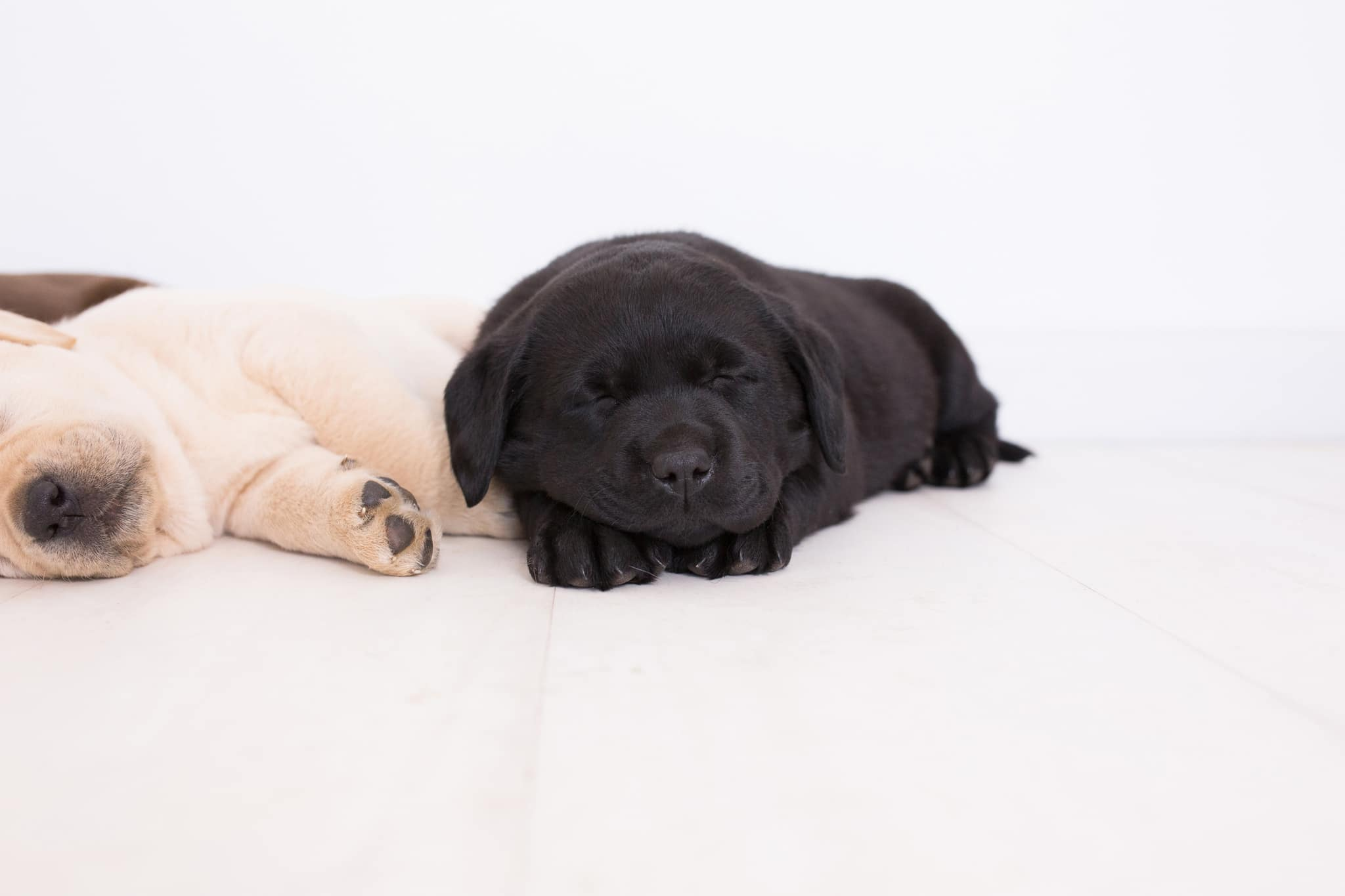 black & yellow purebred puppy sleeping by merelda labradors