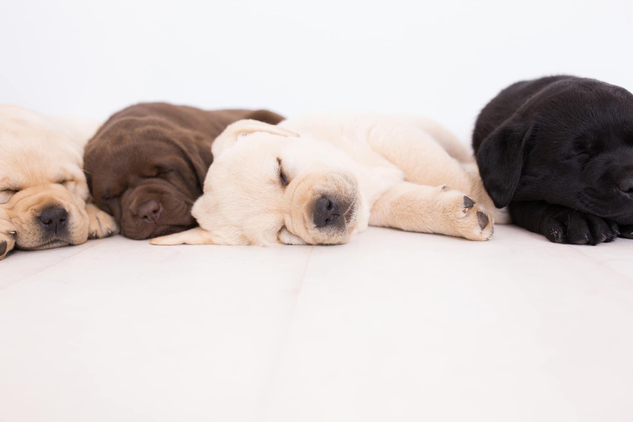 black,chocolate & yellow purebred puppy sleeping by merelda labradors