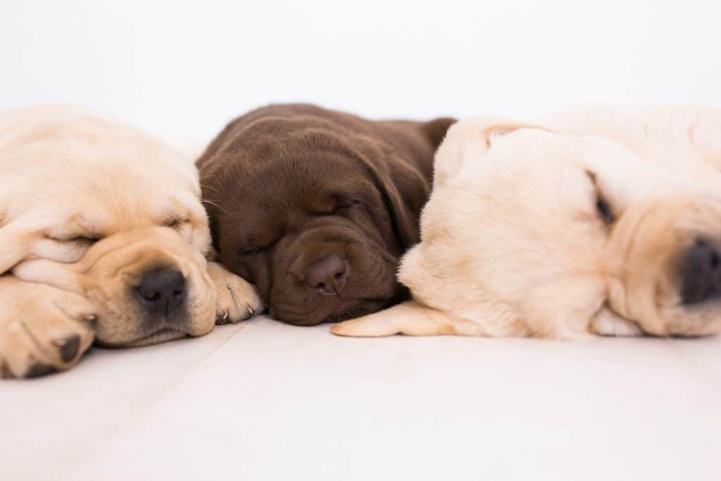 Chocolate Yellow Puppies | Merelda Labradors