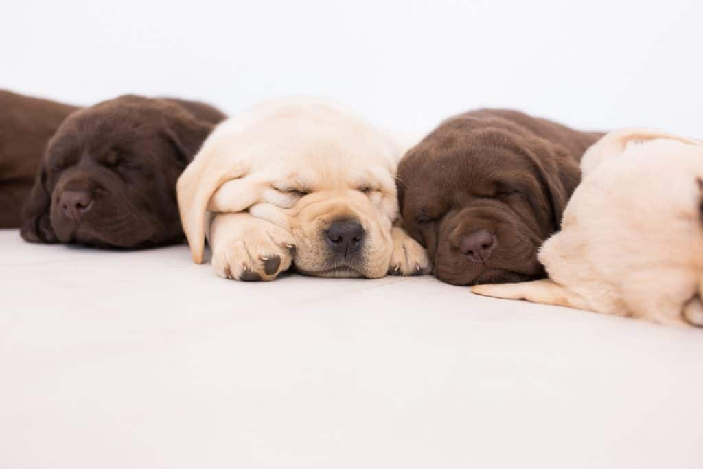 Merelda Labs Puppies