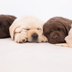 chocolate & yellow purebred puppy sleeping by merelda labradors
