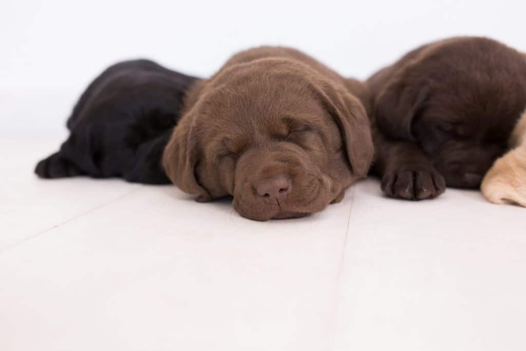 Puppies Merelda Labradors