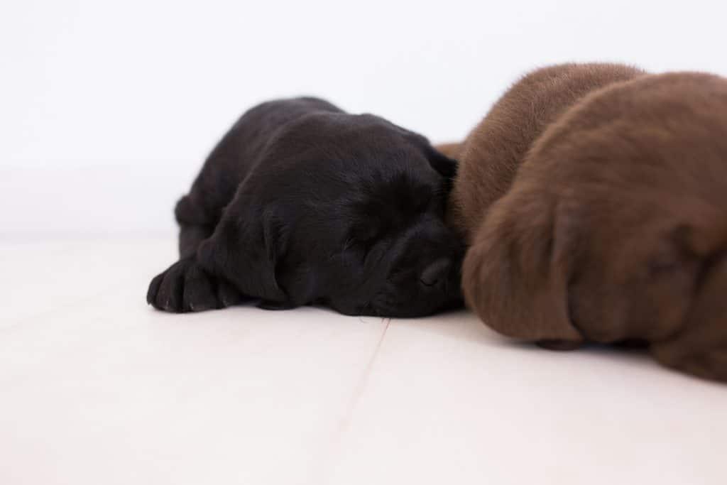 Merelda Labs Puppies