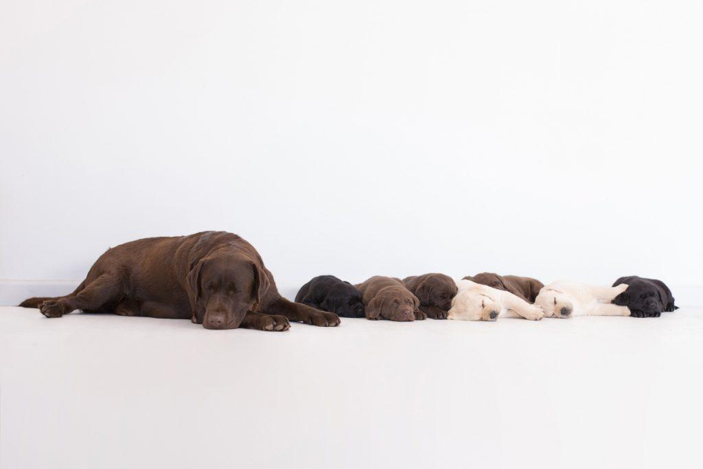 Puppies with Patty   Merelda Labradors