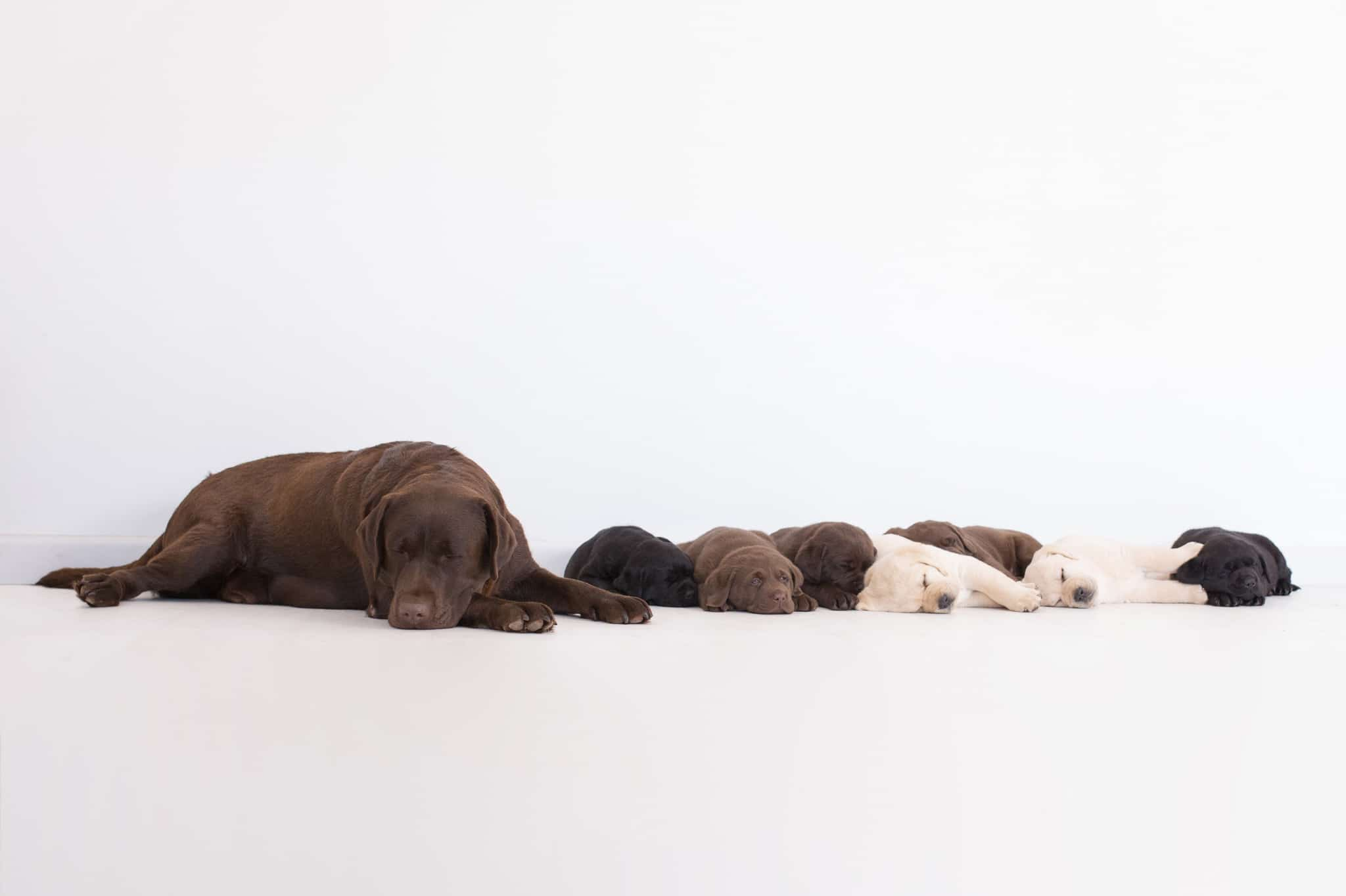 sleeping chocolate yellow black purebred labrador puppies with mum by merelda labradors