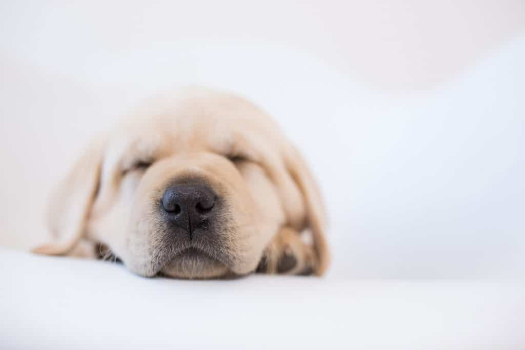 Yellow Labrador Puppy   Merelda Labs