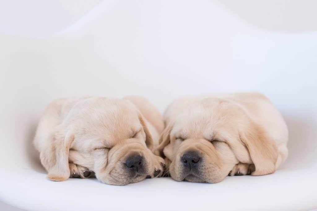 Our Girls | Merelda Labradors