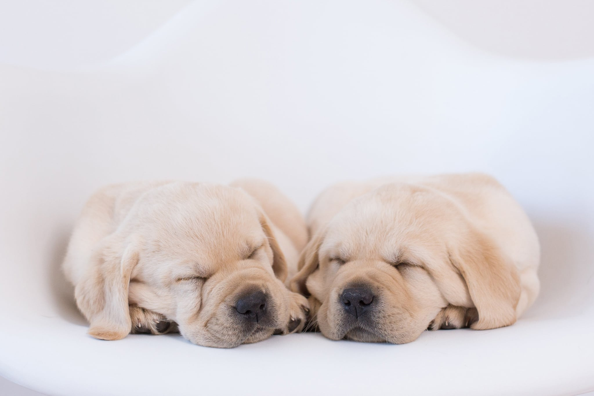 sleeping yellow purebred labrador puppies by merelda labradors