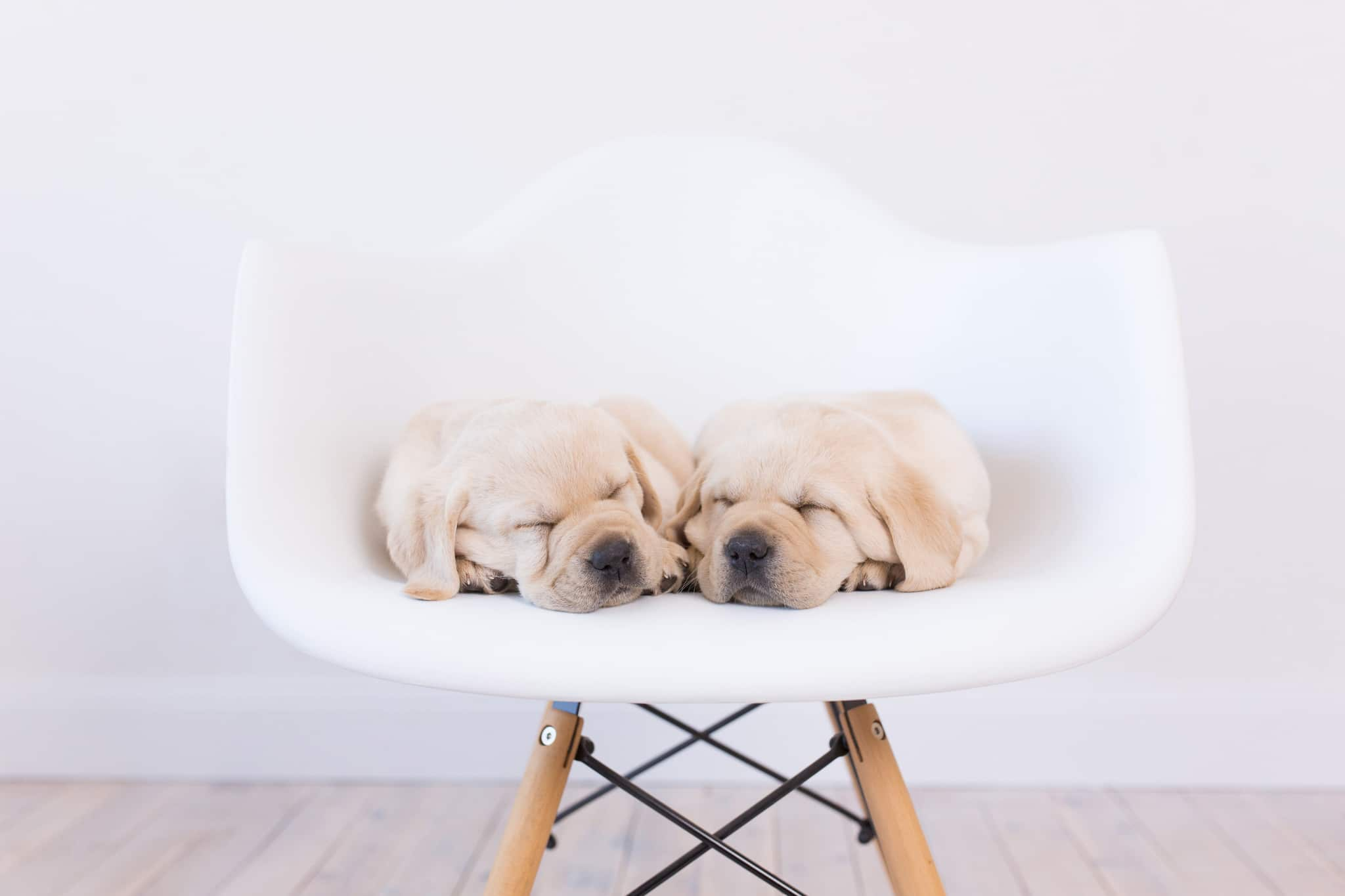 two yellow purebred labrador puppies sleeping in the chair by merelda labradors