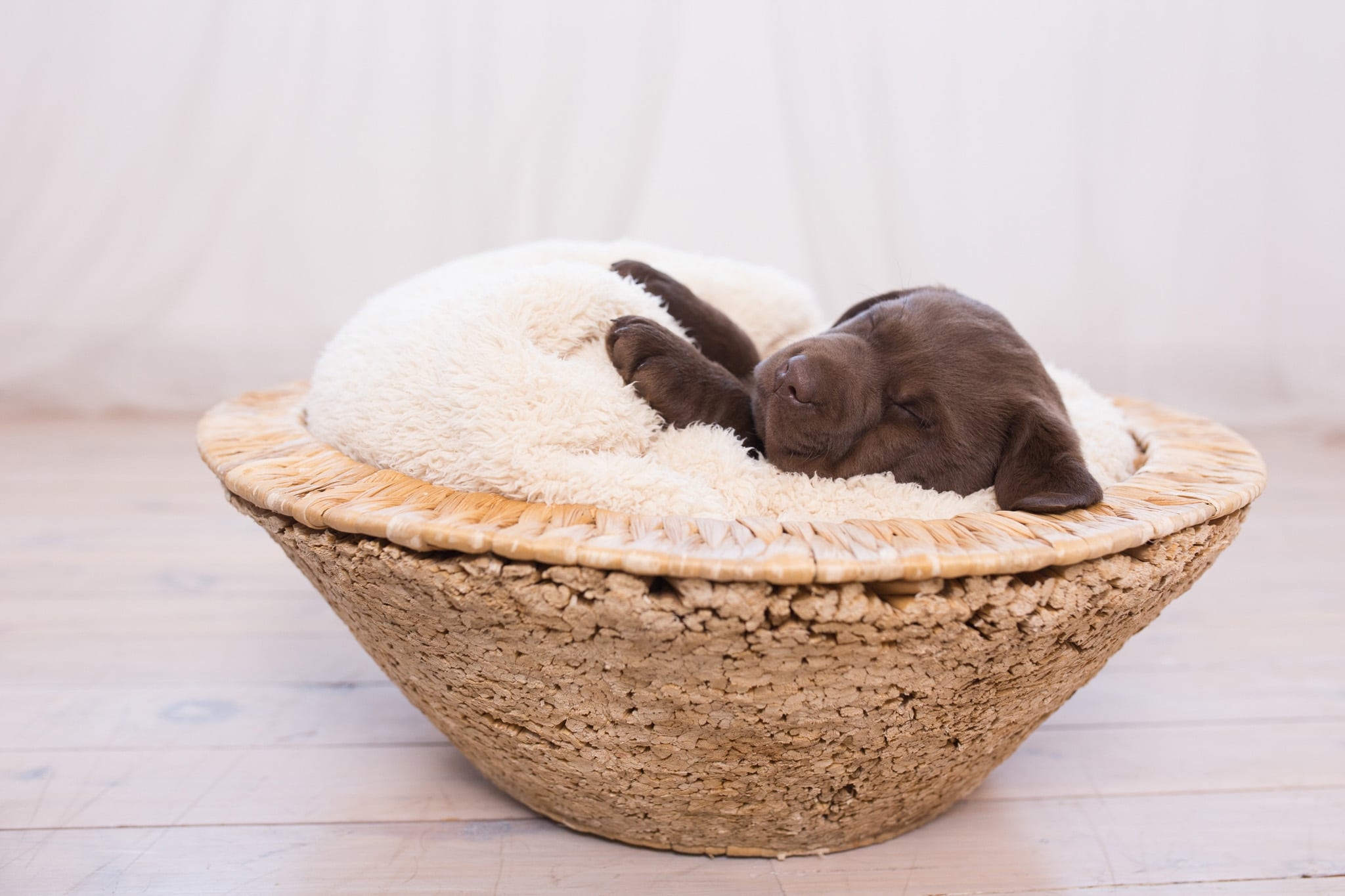 chocolate purebred labrador puppy sleeping in basket merelda labradors