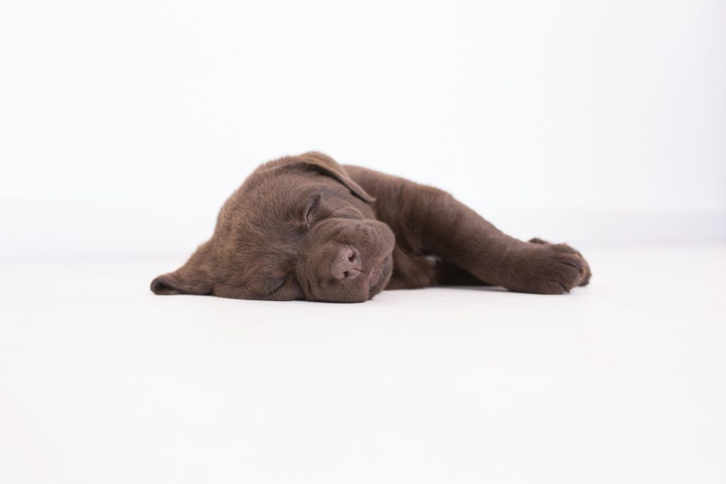 Chocolate Merelda Labradors