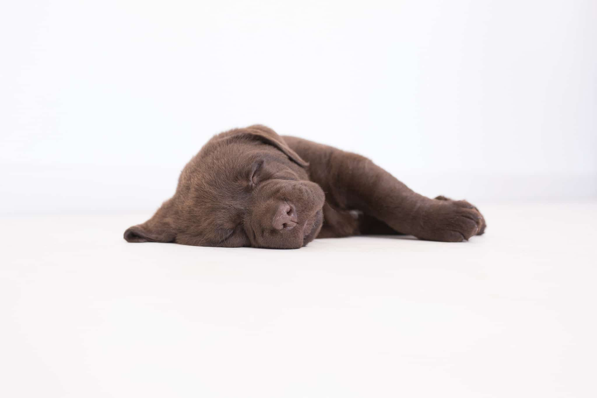 chocolate purebred labrador puppy lays on its side stock by merelda labradors
