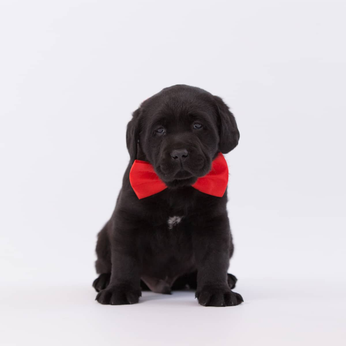 merelda samwell tarly with red bow tie, merelda labradors