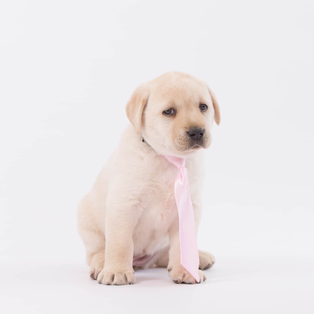 merelda sansa stark in pink necktie by merelda labradors
