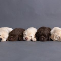 Home - labrador breeder
