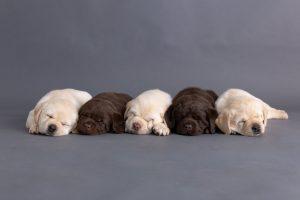 News - Labrador puppies